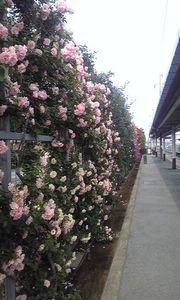 石和温泉駅 バラ2.jpg
